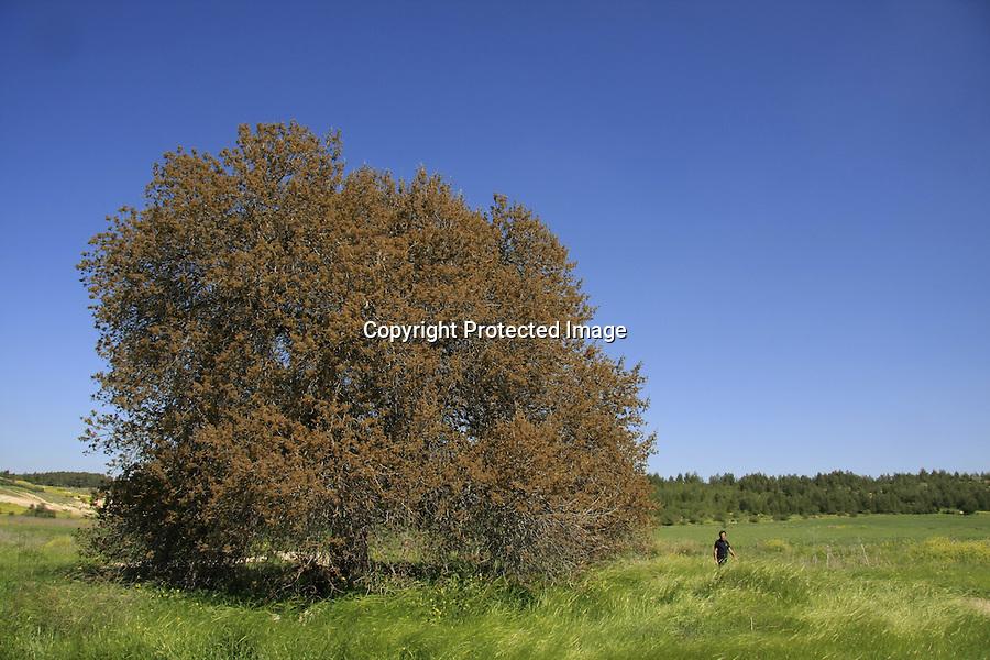 Israel, Shephelah, Atlantic Pistachio tree in Park Adulam