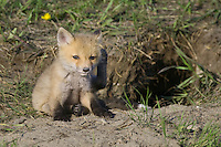 Red Fox Kit having a scratch just outside its den