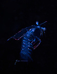 Mantis Shrimp, Black Water diving over Gufstream Current,depth 600 ft. Full moon, Super moon, with Pura Via Divers, off Singer Island, Florida