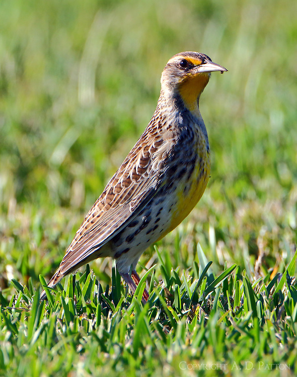 Western meadowlark in non-breeding plumage