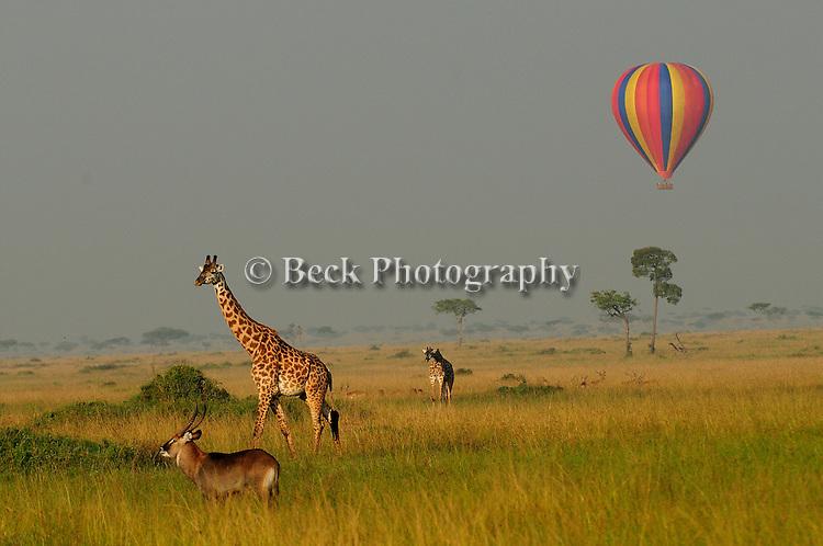 Africa  Kenya Masai Mara Giraffe Hot Air Balloon