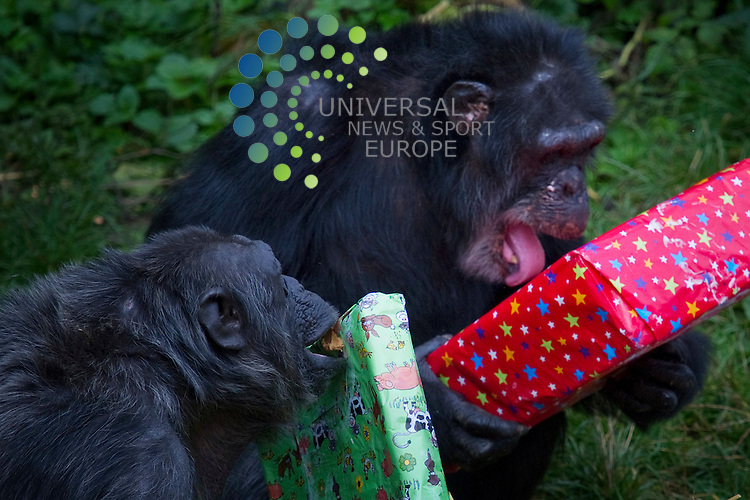 Chimpanzee celebrate as Ricky, Edninburgh Zoo's oldest resident celebrates his 50th birthday, Edinburgh, Scotland, 19th September, 2011. .Picture:Scott Taylor Universal News And Sport (Europe) .All pictures must be credited to www.universalnewsandsport.com. (Office)0844 884 51 22.