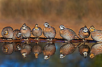 509250070 a covey of wild northern bobwhites colinas virginianus stop to drink at a waterhole on beto gutierrez santa clara ranch hidalgo county lower rio grande valley texas united states