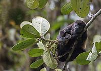 Manteled Howler Monkey; Aluoatta, palliata; Ecuador, Prov. El Oro, Buenaventura Ecological Reserve,