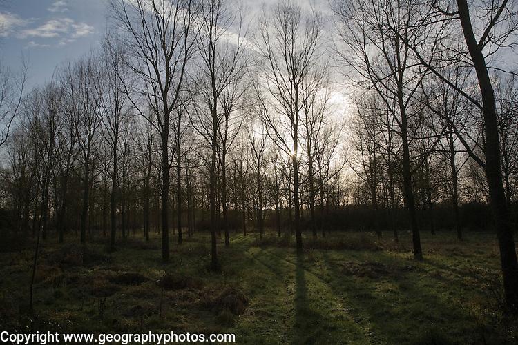 Salix alba Caerulea cricket-bat willow tree plantation Campsea Ashe, Suffolk, England