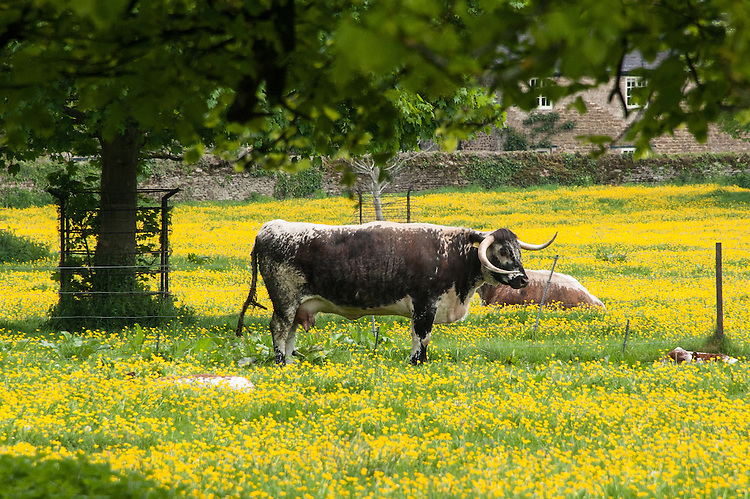 Longhorn cattle in a field of buttercups, Rousham House and Garden.