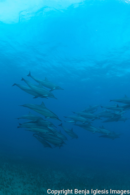 Few spinner dolphins swimming at red hill in 50 feet of water, Maui hawaii.