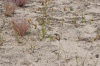 Sand-Segge, Sandsegge, Segge, Carex arenaria, Sand Sedge