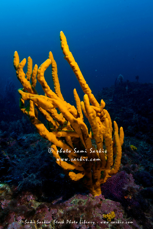Bright yellow Common Antlers Sponge (Axinella polypoides) growing on a reef, Caramasaigne, Riou Island, Marseille, France.