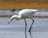 Whyite morph reddish egret in breeding plumage