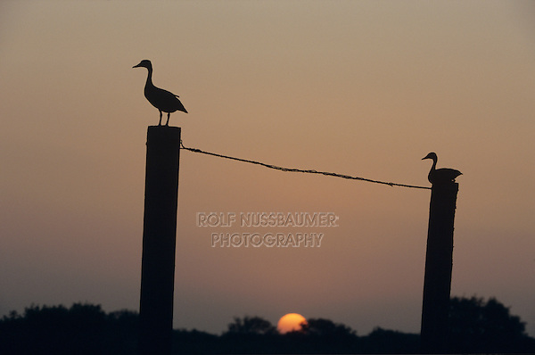Black-bellied Whistling-Duck, Dendrocygna autumnalis, pair at sunset on gate post, Welder Wildlife Refuge, Sinton, Texas, USA, June 2005
