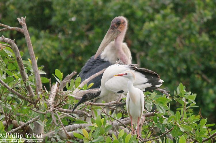 Back to front: marabou stork (Leptoptilos crumeniferus), yellow-billed stork (Mycteria ibis) and cattle egret (Bubulcus ibis), Moremi Reserve, Okavango Delta, Botswana