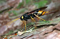 Riesen-Holzwespe, Riesenholzwespe, Weibchen, Holzwespe, Urocerus gigas, Giant Woodwasp, Banded Horntail, Greater Horntail, female, Le Sirex géant, Holzwespe, Holzwespen, Siricidae, Horntail, wood wasp, Horntails, wood wasps