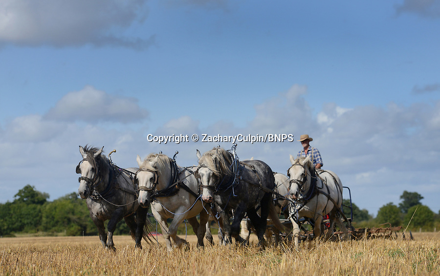 BNPS.co.uk (01202 558833)<br /> Picture: ZacharyCulpin/BNPS<br /> <br /> Heavy horse power... Farmer Robert Sampson uses 6 massive Percheron heavy horses to prepare the field before planting grass seed at his plot in Harbridge, near Ringwood in Hampshire.<br /> <br /> Robert doesn't use a tractor to work the land insisting on traditional horse power, he is a fifth generation farmer on the farm which his family have worked with horses since 1885.<br /> <br /> It takes him three times as long to till the land as it would with a tractor, but Robert insists the economic benefits as well as his enjoyment more than make up for the slightly slower progress.