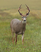 Mule (black-tailed) deer