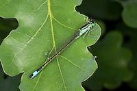 Große Pechlibelle, Pech-Libelle, Ischnura elegans, common ischnura, blue-tailed damselfly
