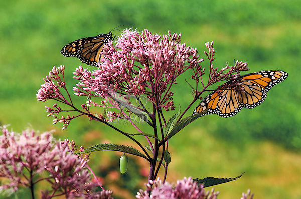 MONARCH BUTTERFLY life cycle..Adult butterflies with Chrysalis on Joe-Pye Weed leaf..North America. Danaus plexippus.
