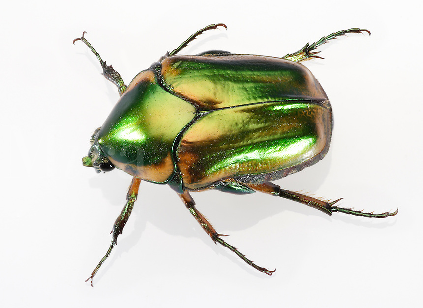 Green June Beetle (3/4 inch long) w/Iridescent Carapace, also Peach Beetle