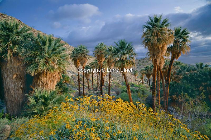 Brittlebush and California fan palm<br /> Southwest Palm Grove<br /> Anza-Borrego Desert State Park<br /> Sonoran Desert,  California