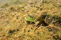 American bullfrog, Lithobates catesbeianus or Rana catesbeiana, Vermont