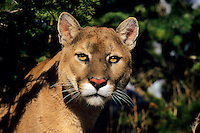 Mountain Lion or cougar (Puma concolor)
