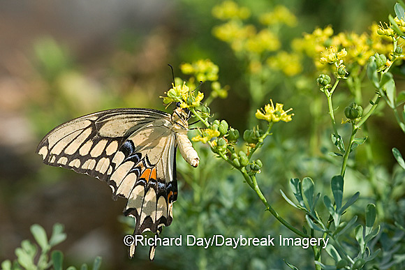03017-008.09 Giant Swallowtail (Papilio cresphontes) female laying eggs on Common Rue (Ruta graveolens) Marion Co.  IL