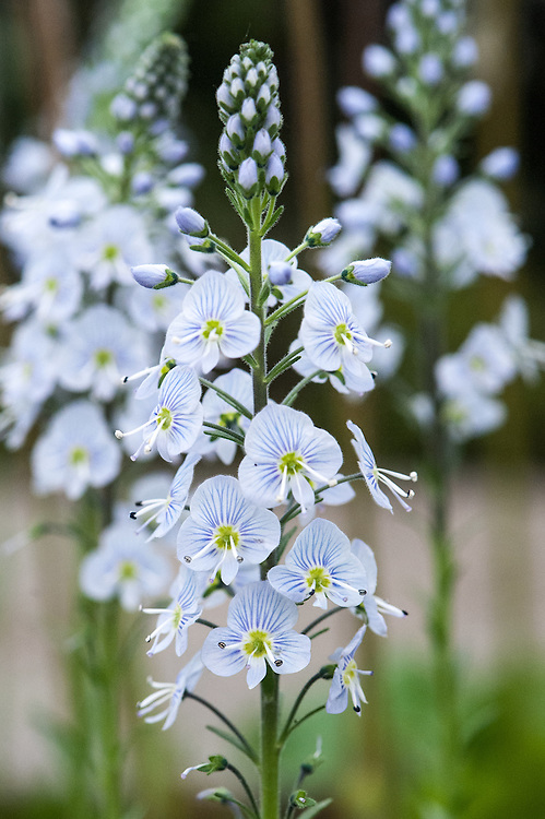 Veronica gentianoides x intermedia, mid May. A member of the speedwell family that produces pale blue flower spikes in late spring. Similar to 'Tissington White' but its flowers are smaller and bluer.