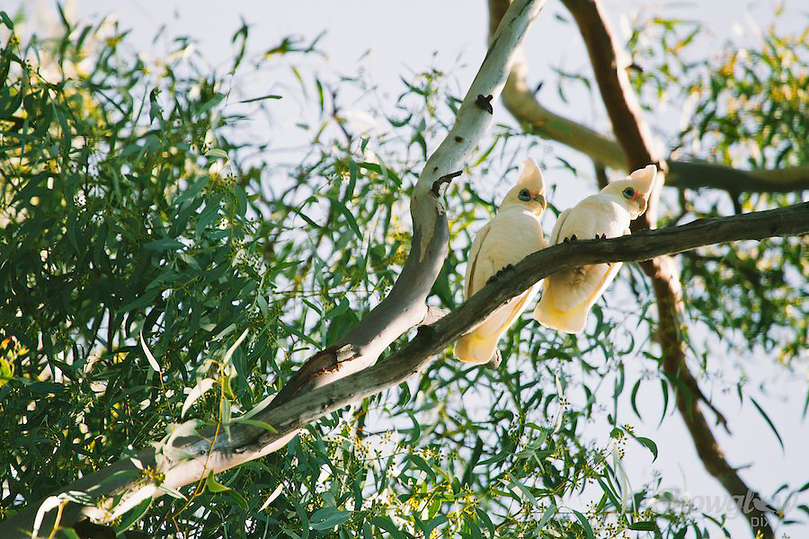 Image Ref: A123<br /> Location: Hattah-Kulkyne National Park<br /> Date: 14th May 2014