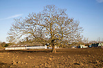 Large leafless deciduous tree in winterSutton, Suffolk, England, UK