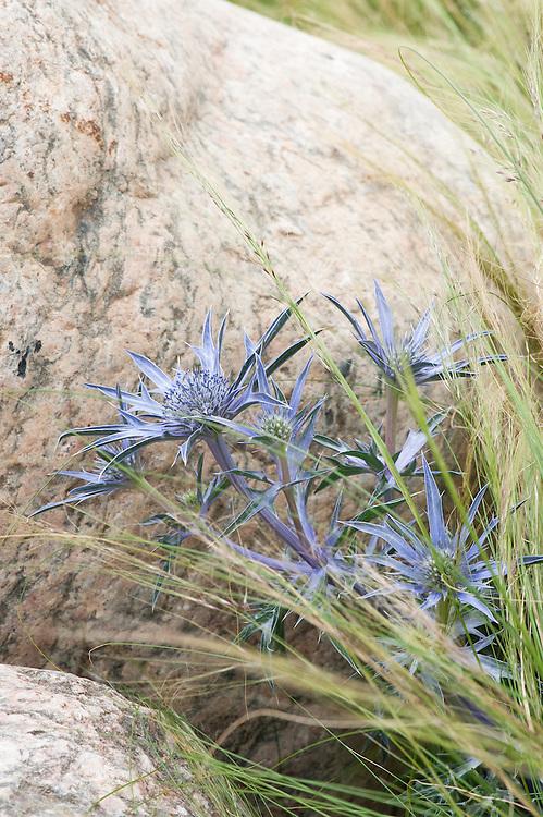 Eryngium bourgatii 'Picos Amethyst' (Sea holly) and Stipa tenuissima (Mexican feather grass), My Boy Jack by Rudyard Kipling, English Poet Garden, Hampton Court Flower Show 2011.