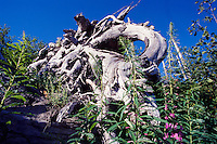 Blown Down Tree from 1980 Eruption Surrounded by Fireweed (Epilobium angustifolium), Mt. St. Helens National Volcanic Monument, Washington, US