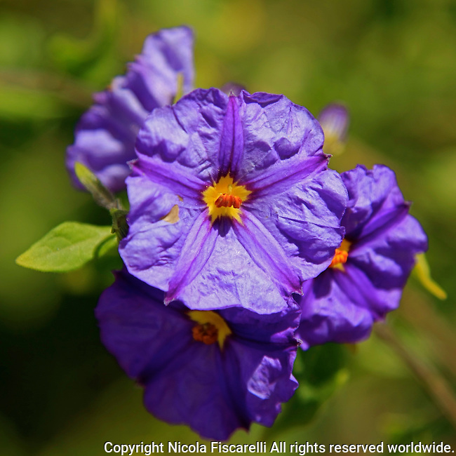 A close-up of a  purple colored flower with the star marking  in the center.
