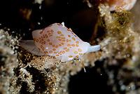 Margarita Egg Cowrie, Diminovula margarita, Joleha dive site, Lembeh Straits, Sulawesi, Indonesia, Pacific Ocean