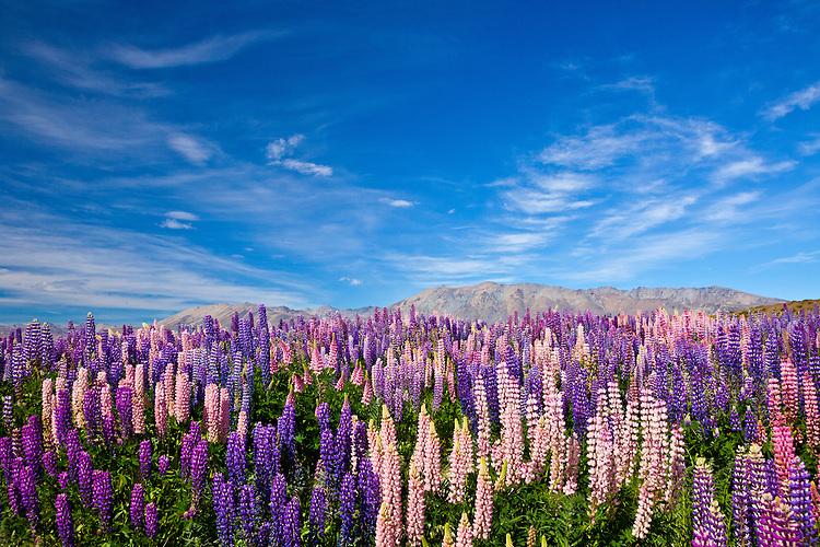 Flowering hillside of lupins, Lake Tekapo, New Zealand - stock photo, canvas, fine art print
