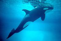 Orca (Orcinus orca).