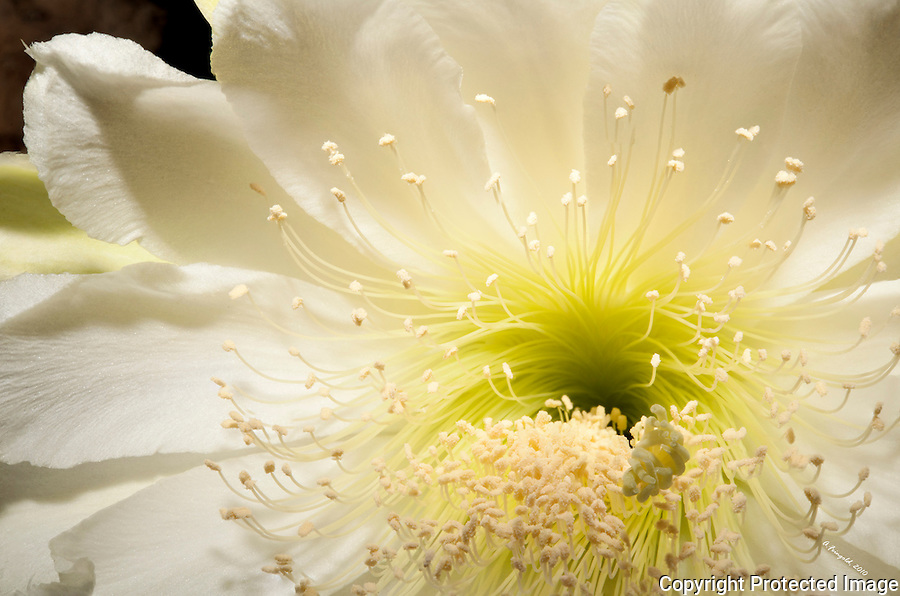 White Soft Flower, Cactus Flower Bloomed,  Midnight Bloom, Seasonal White Cactus Flower, Stacked Photography, Macro Photography<br />