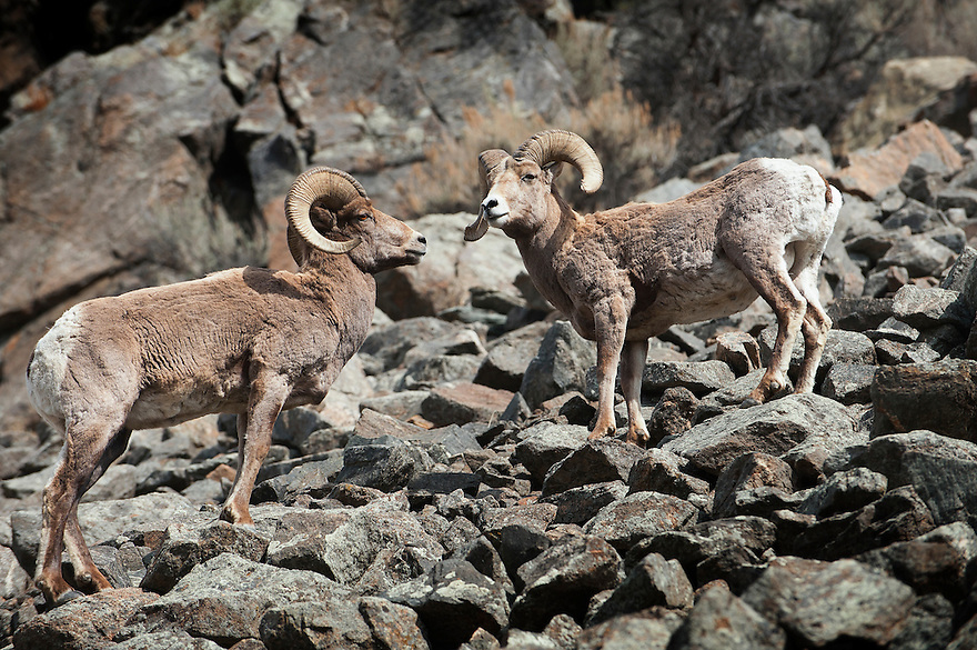 Bighorn sheep navigate a rocky slope above the Yellowstone River near Gardiner, Montana.