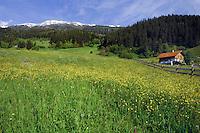 Alpine home, spring flowers and grass in Alpine meadow, Wenns, Piller, kaltenbrunn area. Imst district, Austria.