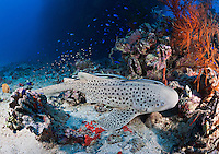 RJ1900-D. Zebra Shark (Stegostoma fasciatum) rests on bottom in 110 feet, next to Shinkoku Maru shipwreck. Note remoras (Echeneis naucrates) on shark. Truk (Chuuk) Lagoon, Micronesia, Pacific Ocean.<br /> Photo Copyright &copy; Brandon Cole. All rights reserved worldwide.  www.brandoncole.com