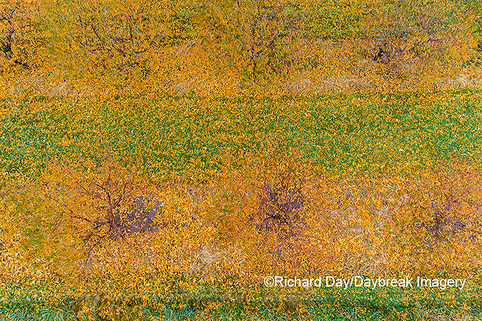 63801-12017 Peach orchard in fall-aerial  Marion Co. IL