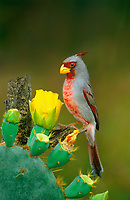 573900036a a wild male pyrrhuloxia cardinalis sinatus perches on a dead mesquite tree branch next to flowering opuntia cactus on a private ranch in the rio grande valley of south texas