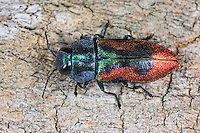 Kirschprachtkäfer, Bunter Kirschbaumprachtkäfer, Kirsch-Prachtkäfer, Bunter Kirschbaum-Prachtkäfer, Anthaxia candens, Glowing jewel beetle, Metallic Wood-boring Beetle