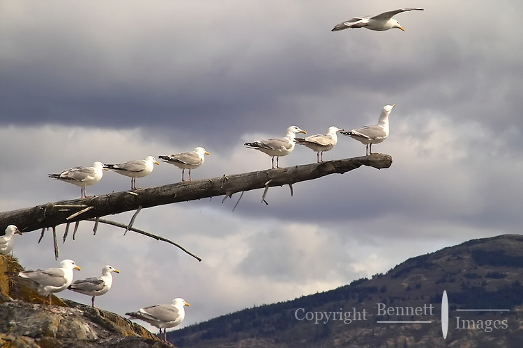 A group of seagulls lines up on a branch on an island in Skilak Lake, in Alaska's Kenai National Wildlife Refuge.