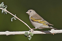 Lawrence's Goldfinch - Carduelis lawrencei - female