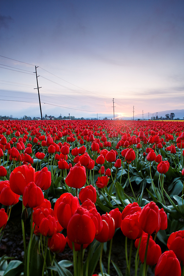 Sunrise over a field of red tulips, Skagit Valley, Washington, USA