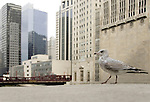 this seagull paraded in front of the civic opera of chicago