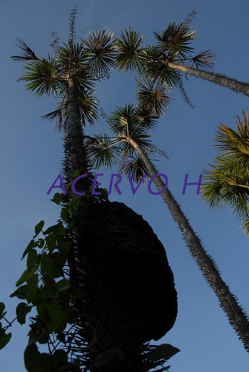 &Aacute;rvore do Buriti.<br /> Salvaterra, Maraj&oacute;, Par&aacute;, Brasil<br /> Foto Paulo Santos<br /> 01/11/2008