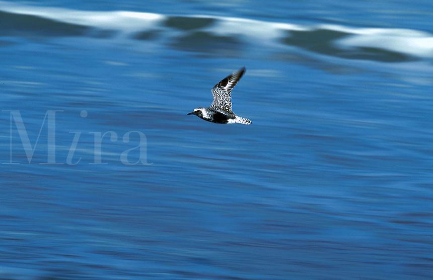 Black bellied plover flight over surf, Florida