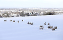 Sheep look for food in a snow covered field high on the hill roads around Belfast, Northern Ireland, Thursday Jan 29th, 2015. A 130 schools where forced to close due to the weather along with bus services. Photo/Paul McErlane