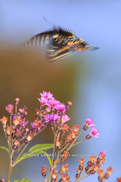 A Black Swallowtail Butterfly in ethereal looking motion blur, Flying above yellow flowers, Papilio polyxenes Fabricius; Plenty Of Space For Copy, Southwestern Ohio, USA